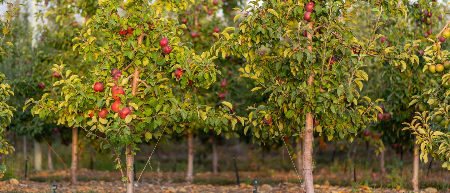 Precision irrigation solutions for orchards